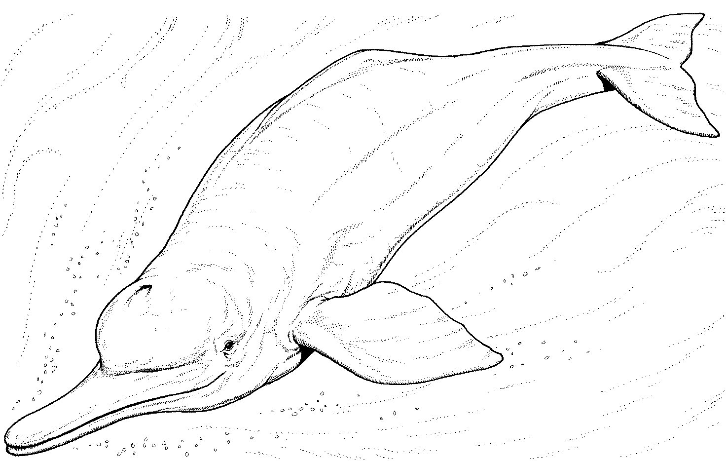 amazon river dolphin coloring page photo - 1
