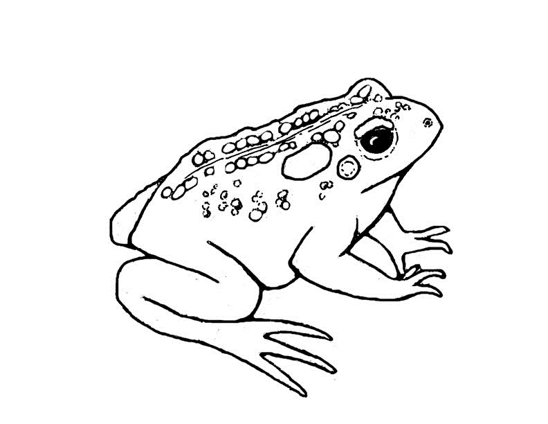 american toad coloring page photo - 1