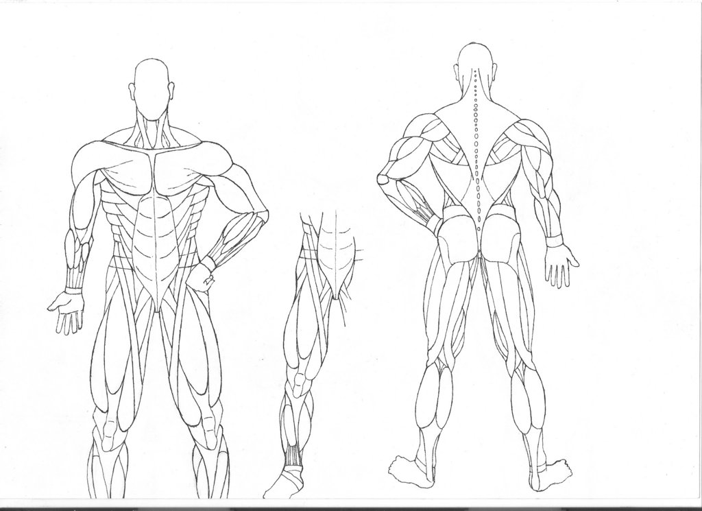 anatomy coloring pages muscles free photo - 1