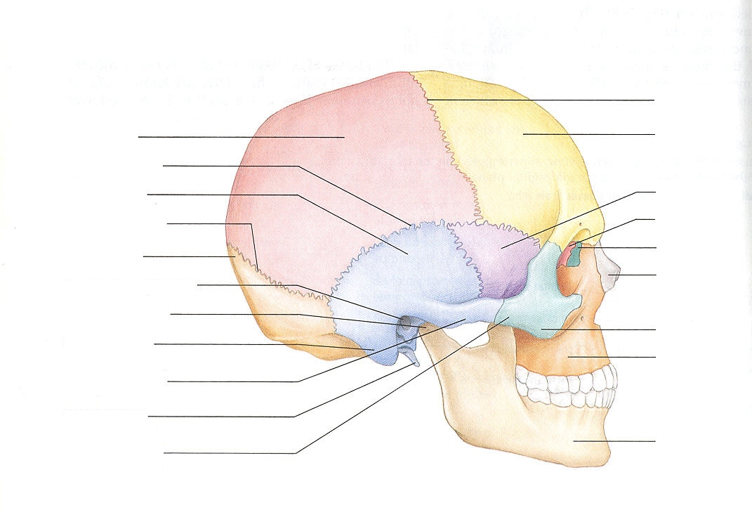 anatomy coloring pages of the skull photo - 1