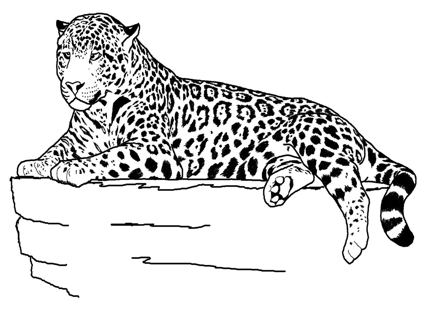 cheetahs coloring pages photo - 1