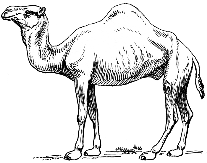 color pages of camels photo - 1