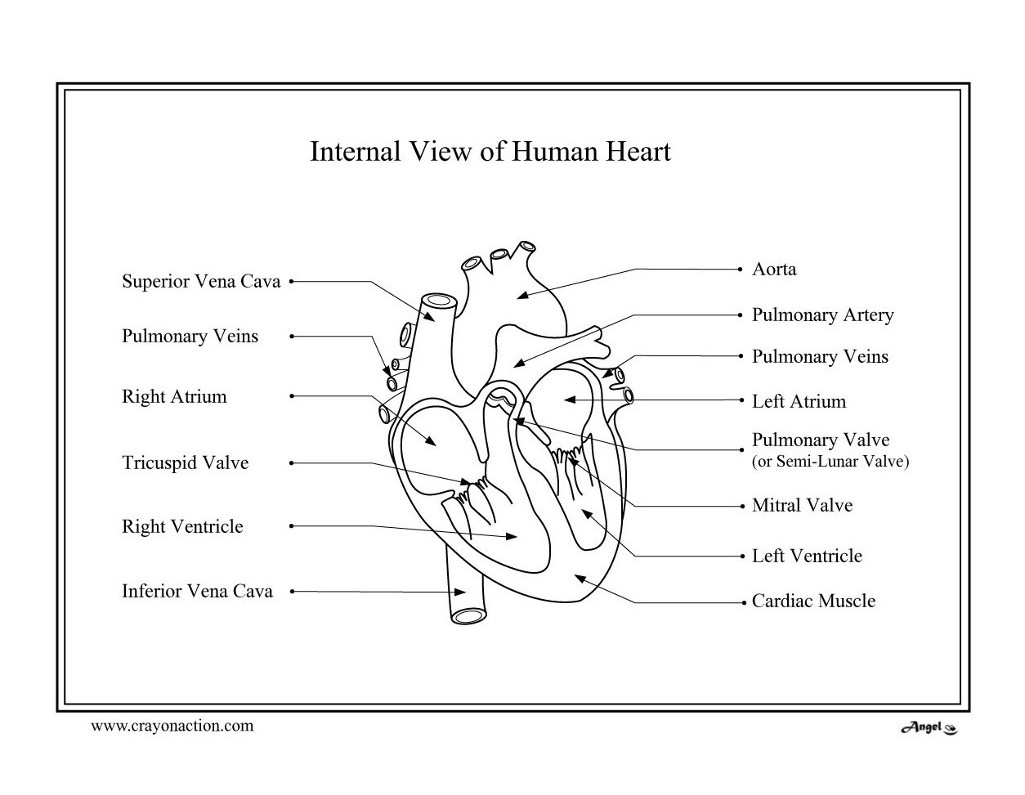 free printable human heart coloring pages photo - 1